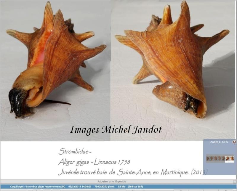 Strombidae Aliger gigas - (Linnaeus, 1758) Stromb13