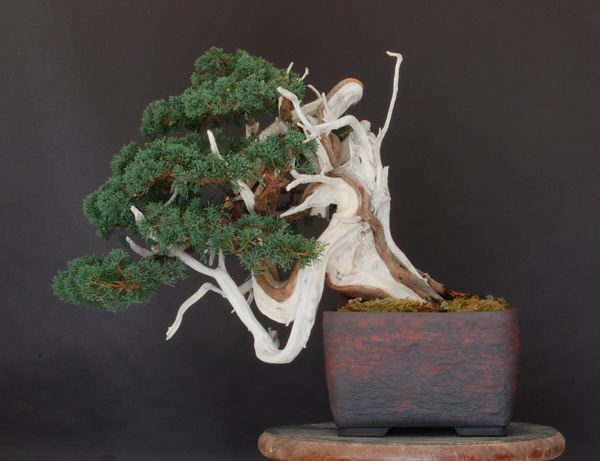 juniper repotting Dsc_0010
