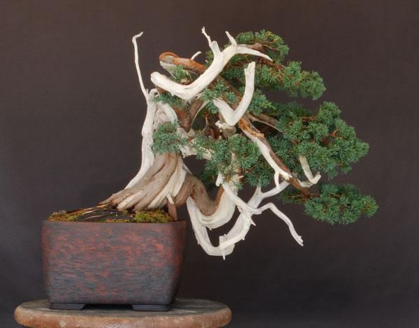 juniper repotting Dsc_0011