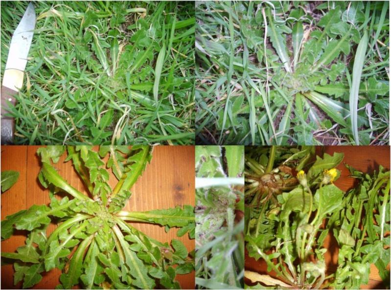 Cousteline / Reichardia picroides Couste10
