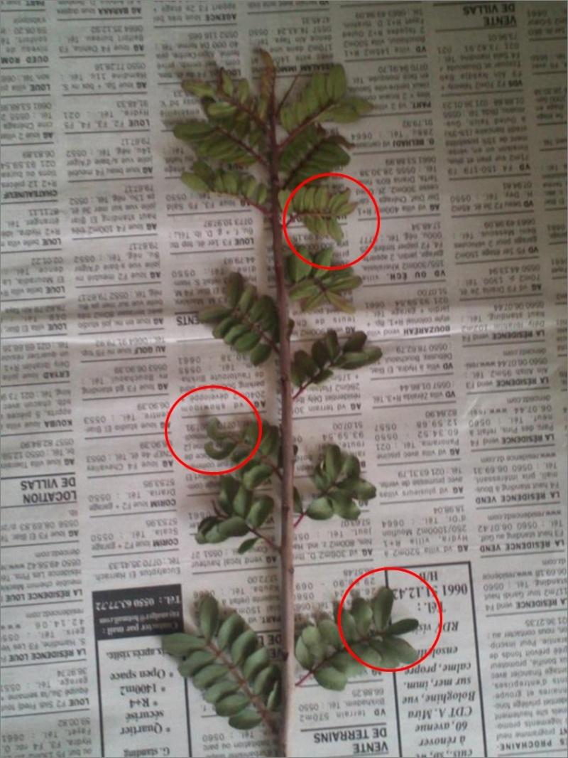 Arbuste Pist10