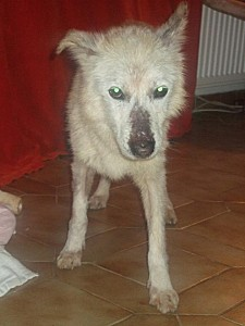 HUBERTx husky(m) 8 ans recherche fa ou définitive  REF:29 décédé Hubert10