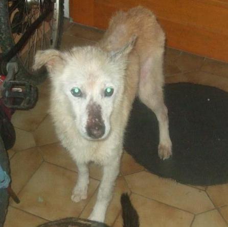 HUBERTx husky(m) 8 ans recherche fa ou définitive  REF:29 décédé Hubert11