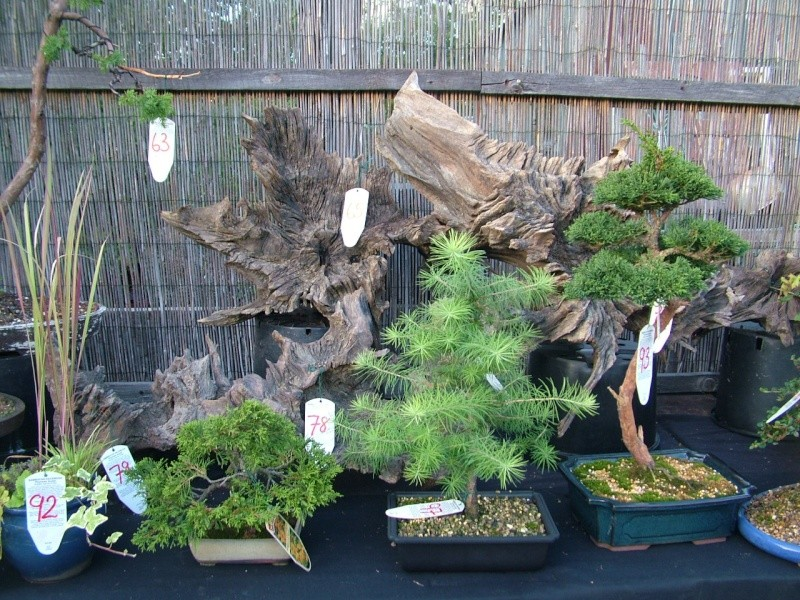 DRAGON BONSAI BOOT SALE AND AUCTION SUNDAY 8th OF SEPTEMBER Dscf0750