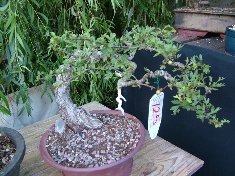 DRAGON BONSAI BOOT SALE AND AUCTION SUNDAY 8th OF SEPTEMBER Dscf0752