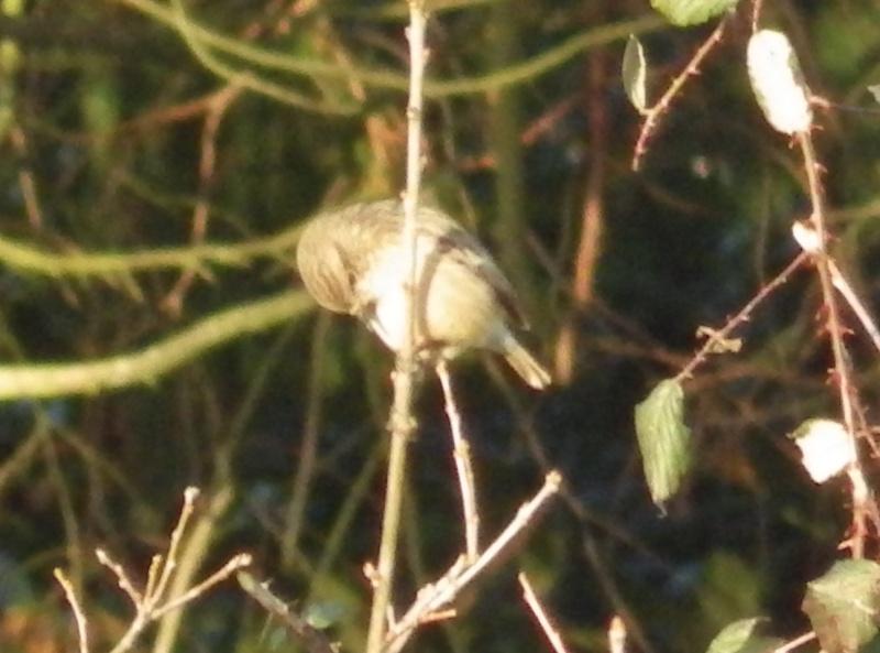 ID femelle tarier patre, des près ou phargmites ? Imgp0612
