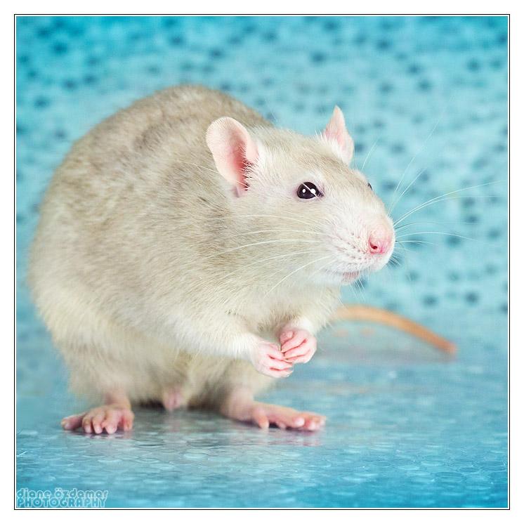 De quelle couleur est ce ratou ? _mg_3611