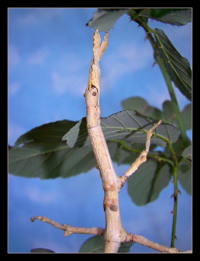 Achrioptera fallax (PSG 327) - Page 2 Photo_15