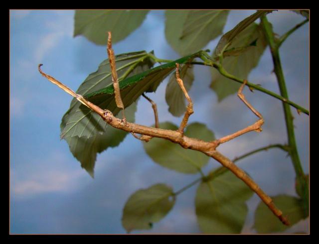 Achrioptera fallax (PSG 327) - Page 2 Photo_16