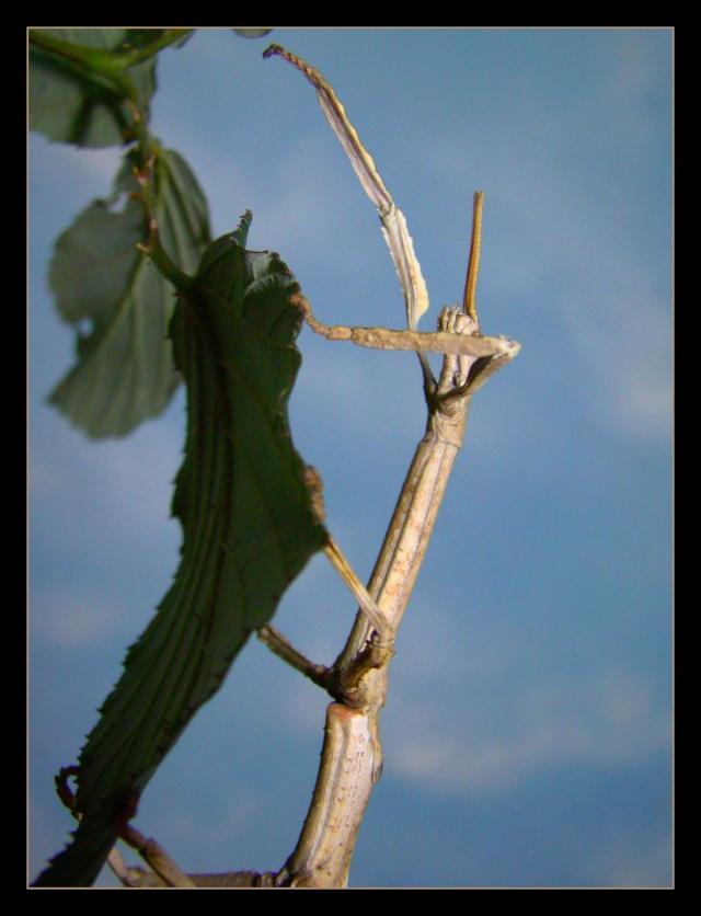 Achrioptera fallax (PSG 327) - Page 2 Photo_17