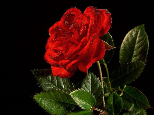 Un jardin pour la cascade Rose_r10