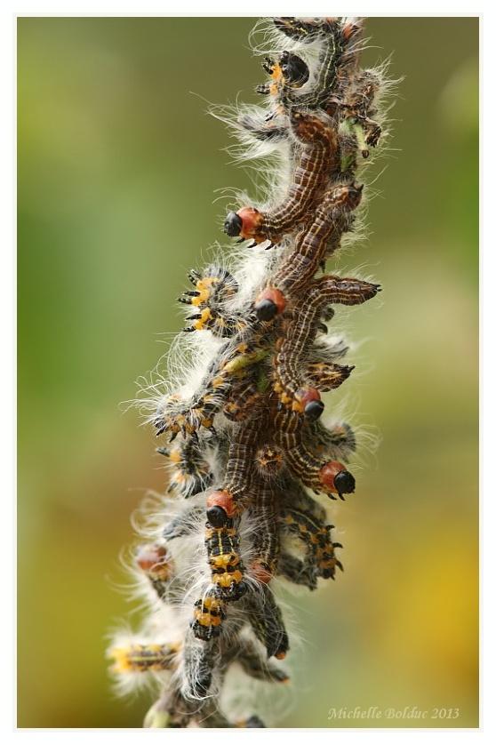 Brochette de futurs... beaux papillons ! W_chen10