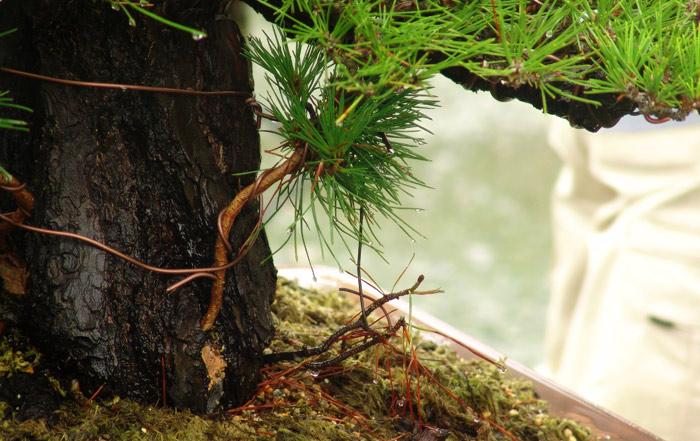Scots pine Dsc02811