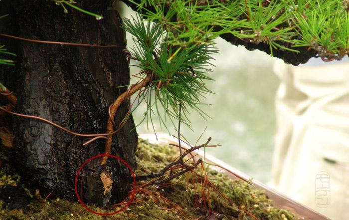 Scots pine Dsc02812