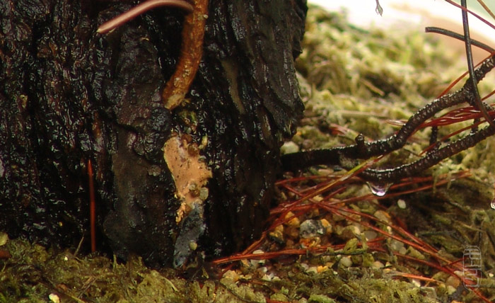 Scots pine Dsc02813