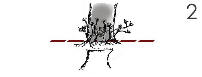 Scots pine Root510