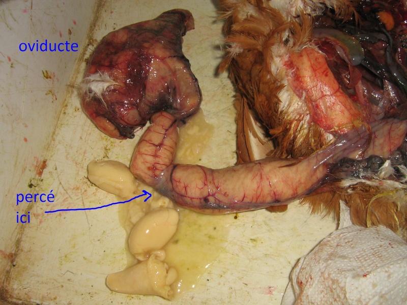 poule malade (salmonelle??? Je panique!!!) [dissection - salpingite] - Page 7 Note6_10