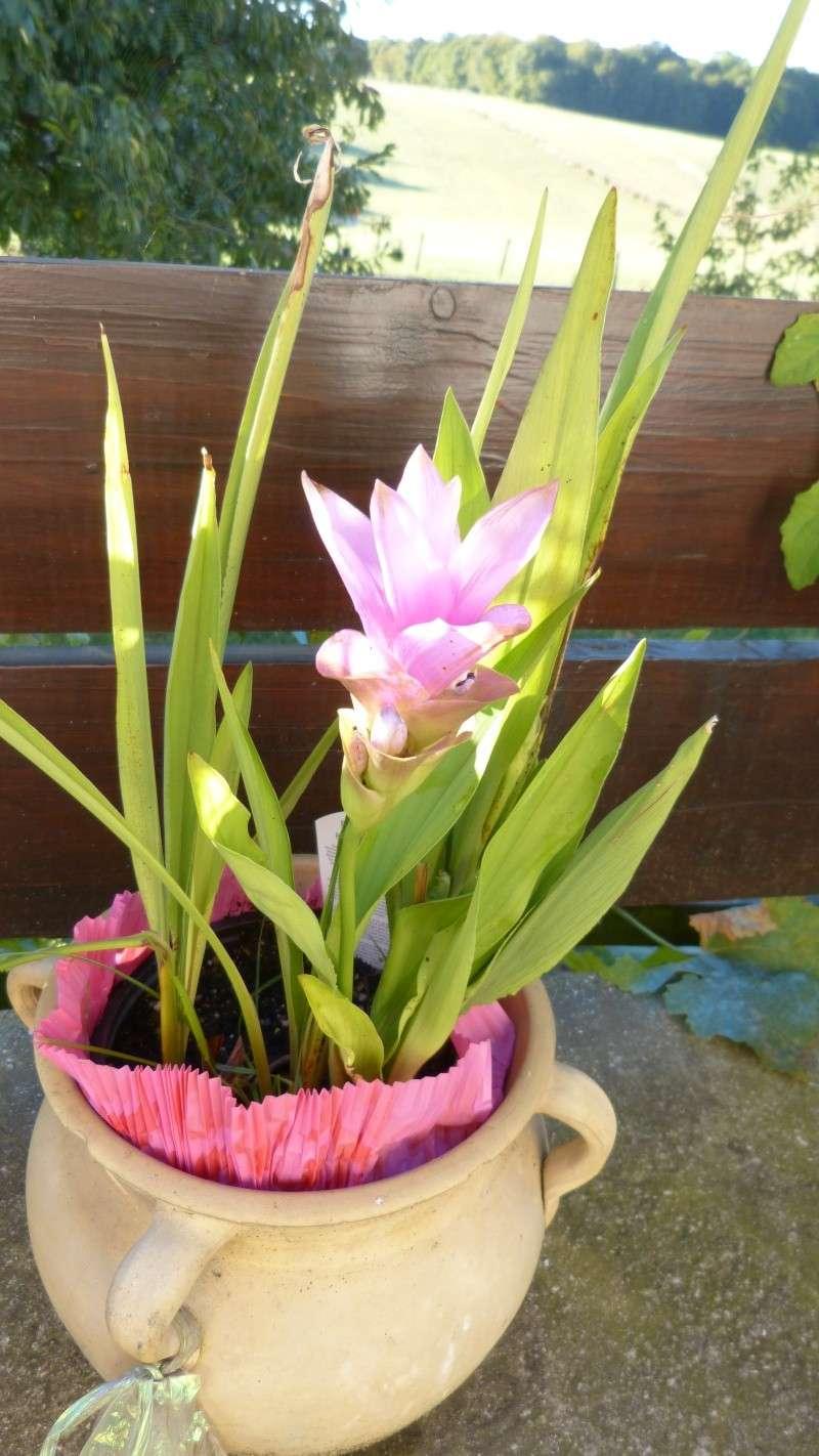 tulipe de thaillande refleurit P1020717