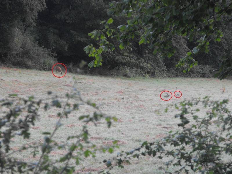 chevreuils et lièvres Approc10