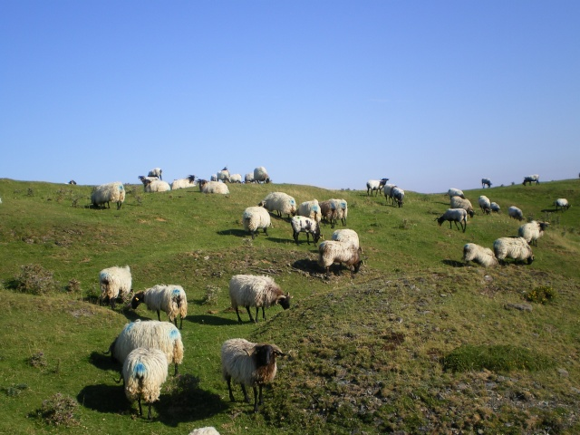 Les moutons Imgp0618