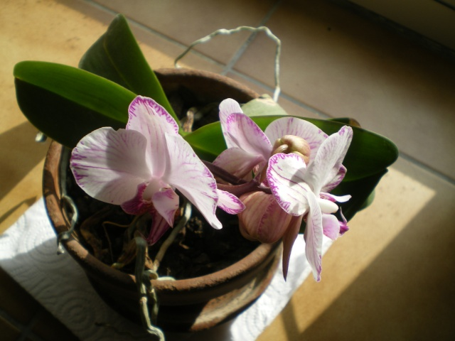 Evolution de mon Orchidée Le_8_f11