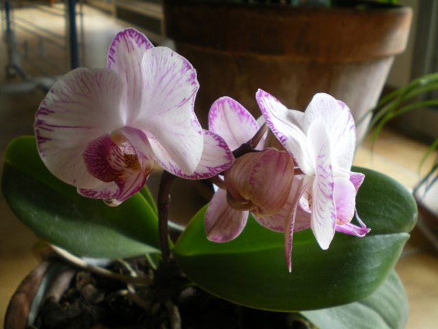 Evolution de mon Orchidée Le_8_f13