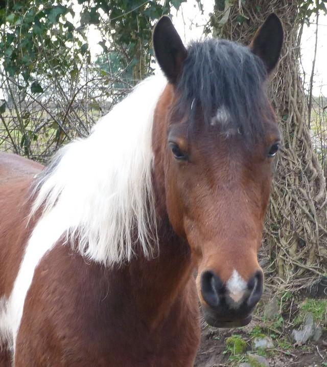 Les chevaux peuvent-ils avoir des verrues ? P1000412