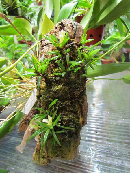 Christensonella uncata ex. Maxillaria uncata Img_1610