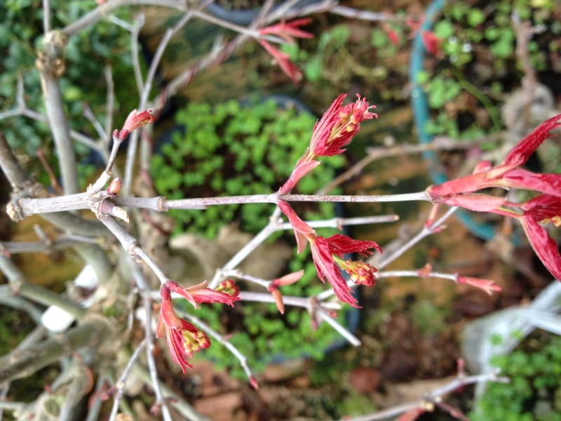 fiori di prunus spinosa Acero210