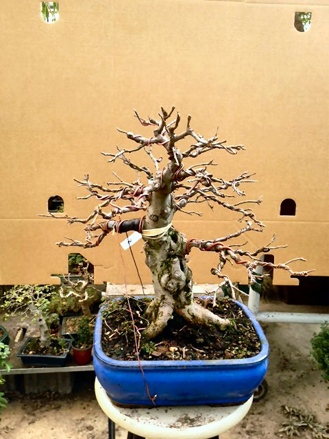 Piegatura di un grosso ramo al Bonsai Club Laudense Melono10