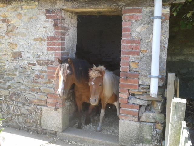 TAGADA - ONC poney typé Shetland né en 2008 - adopté en août 2013 2013-010
