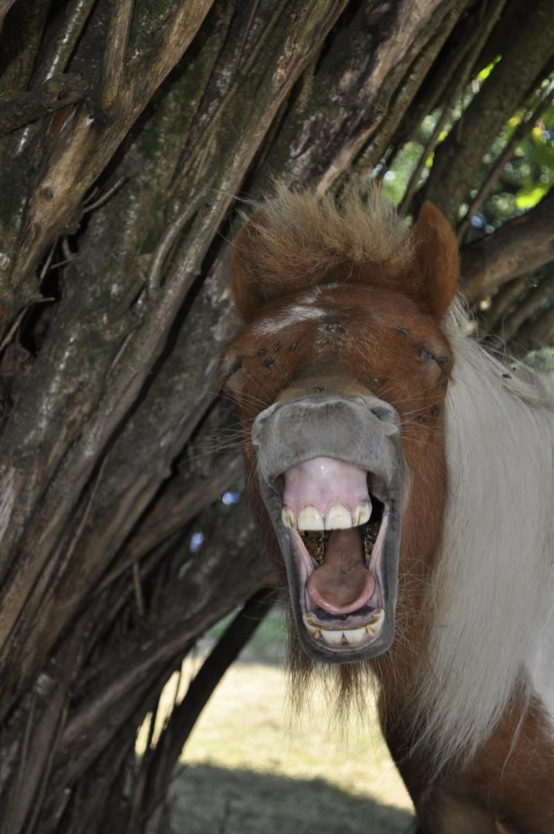 TAGADA - ONC poney typé Shetland né en 2008 - adopté en août 2013 _dsc0611