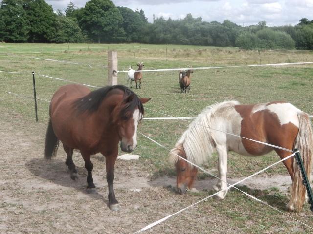 TAGADA - ONC poney typé Shetland né en 2008 - adopté en août 2013 Imga0111