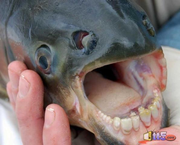 سمكة تمتلك أسنان مثل البشر !!! 100110