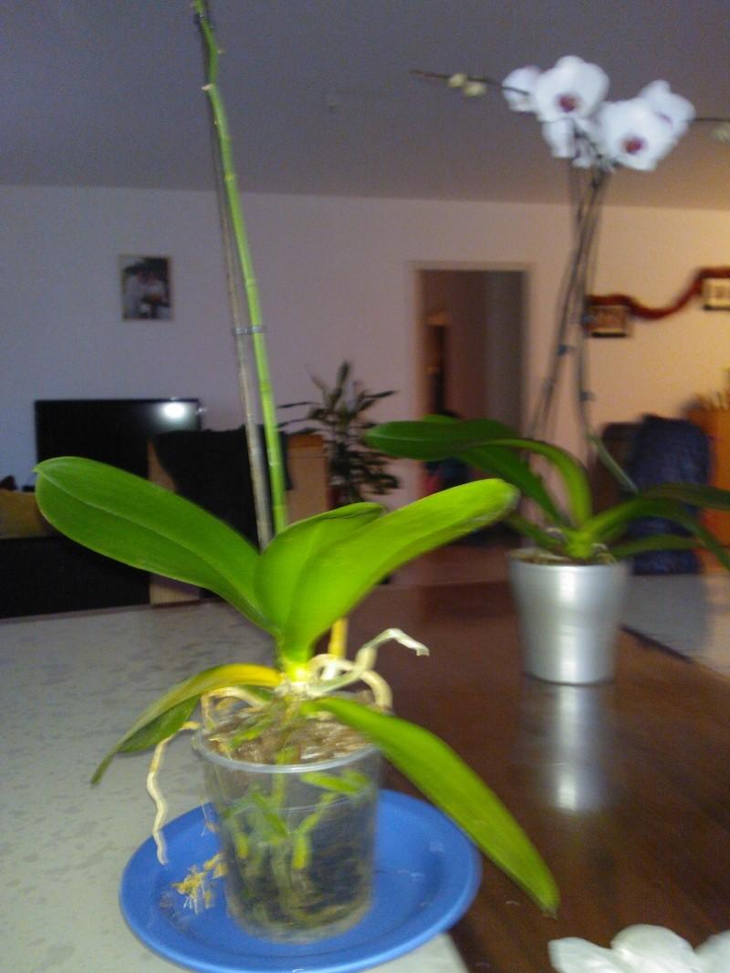 récupération d'une orchidée Wp_00010