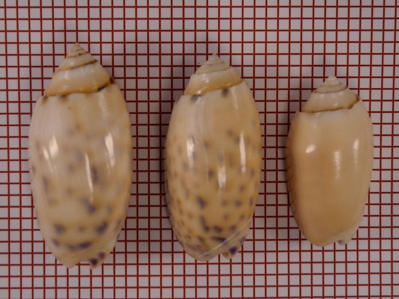 Annulatoliva annulata amethystina (Röding, 1798) - Worms = Oliva amethystina amethystina (Röding, 1798) Dscn1714
