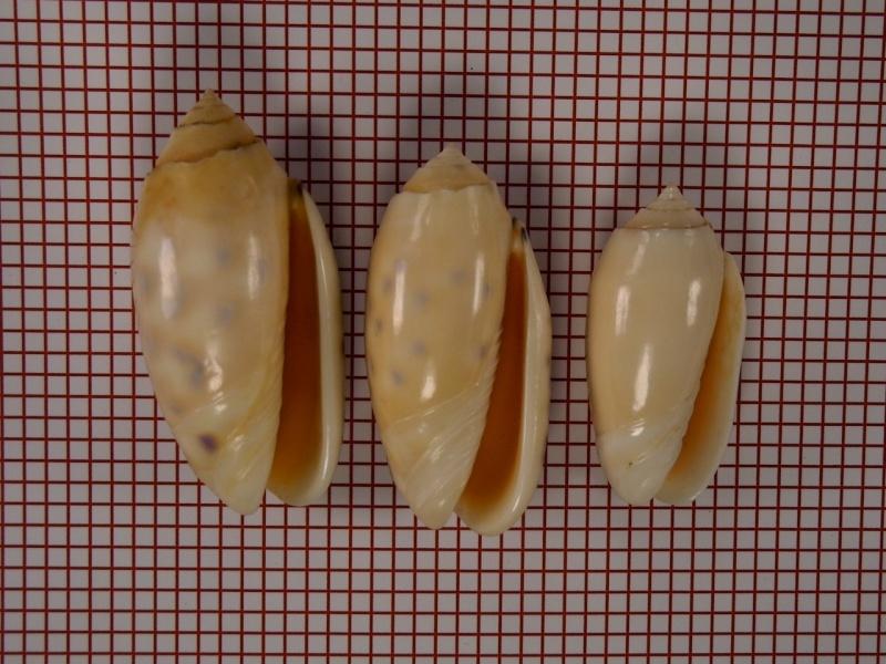 Annulatoliva annulata amethystina (Röding, 1798) - Worms = Oliva amethystina amethystina (Röding, 1798) Dscn1715