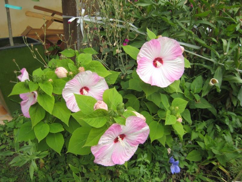hibiscus a fleur géante:Hibiscus moscheutos cv disco - Page 10 Img_1212