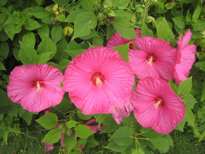 hibiscus a fleur géante:Hibiscus moscheutos cv disco - Page 10 Img_1213