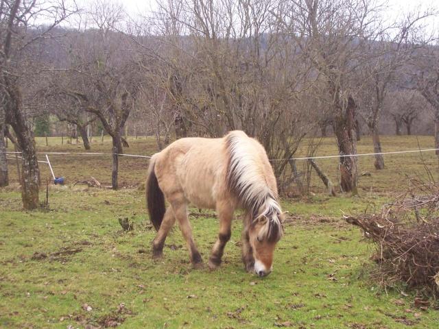 ULYSSE - Poney type Fjord né en 1991 - adopté en février 2011 par comtois&co - Page 2 100_1412