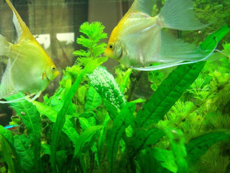 Mes 5 aquariums 100_5313