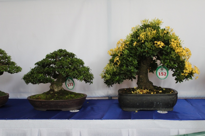 Vietnam International bonsai show Img_3017