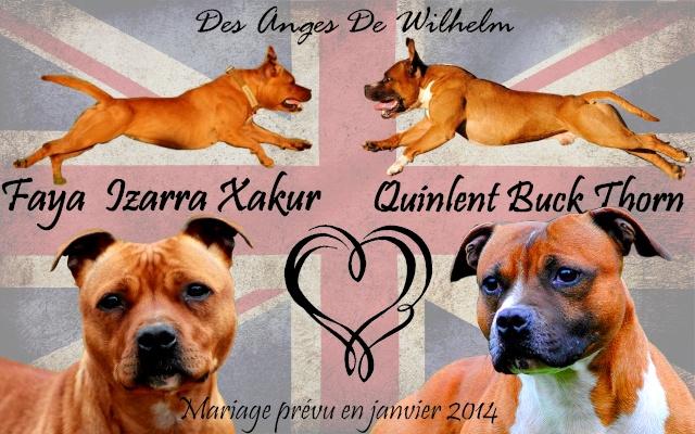 """Chiots Staffordshire Bull Terrier LOF """"Des Anges de Wilhelm"""" - 2014 Buck_e10"""