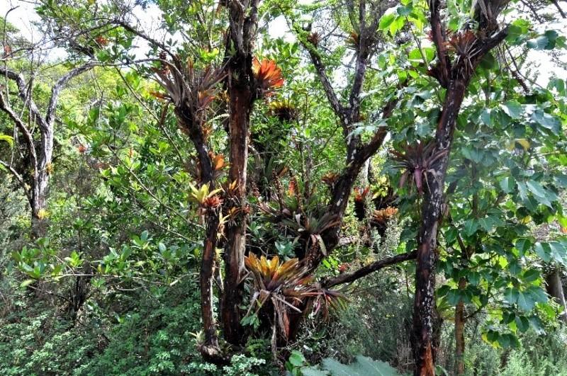 Qu'est-ce une plante epiphyte? Costa_12