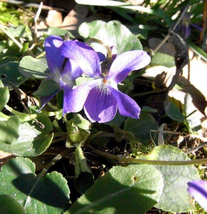Les violettes - Page 3 Favrie16