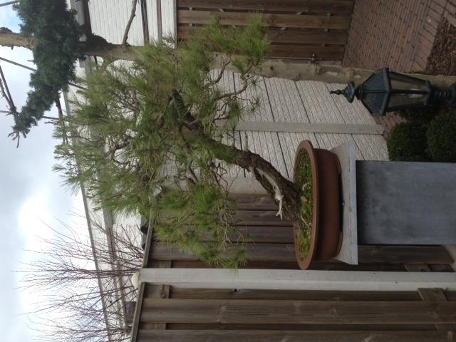 Pinus halepensis Foto11