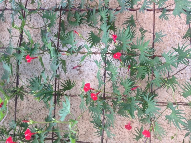 Résultats de nos échanges sur Jardin Passion  Hoya_012