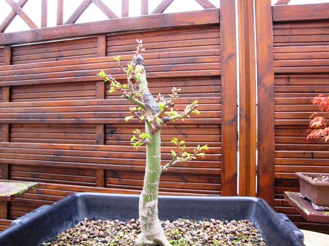plant acer shishigashira pour formation en bonsai - Page 5 Img_5111