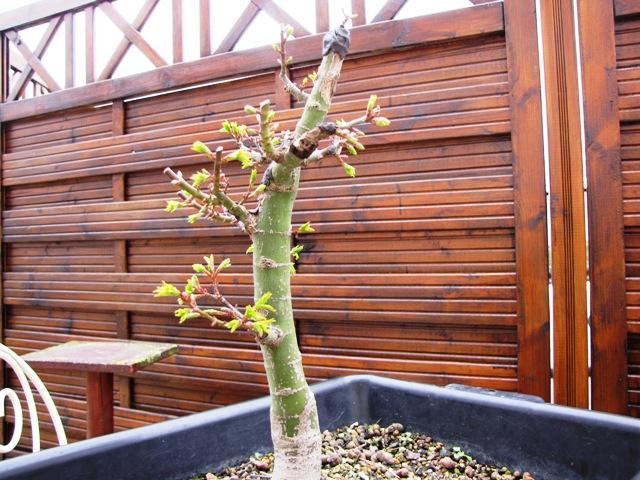 plant acer shishigashira pour formation en bonsai - Page 5 Img_5113