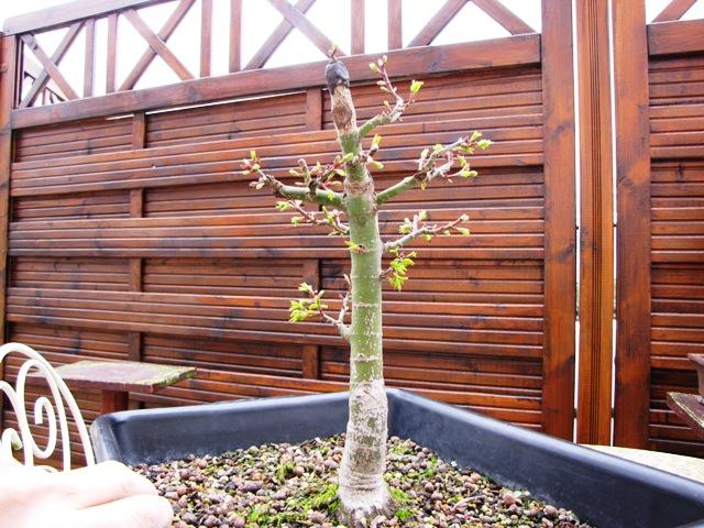plant acer shishigashira pour formation en bonsai - Page 5 Img_5114